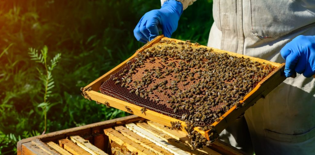 The beekeeper looks over the honeycomb with the bee larvae.
